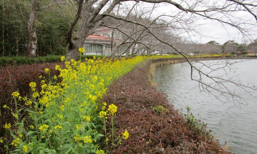 下池の菜の花
