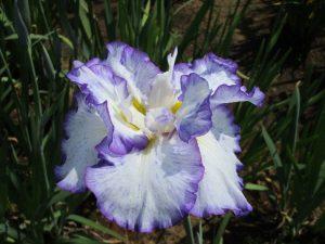 紫陽花 夢の羽衣